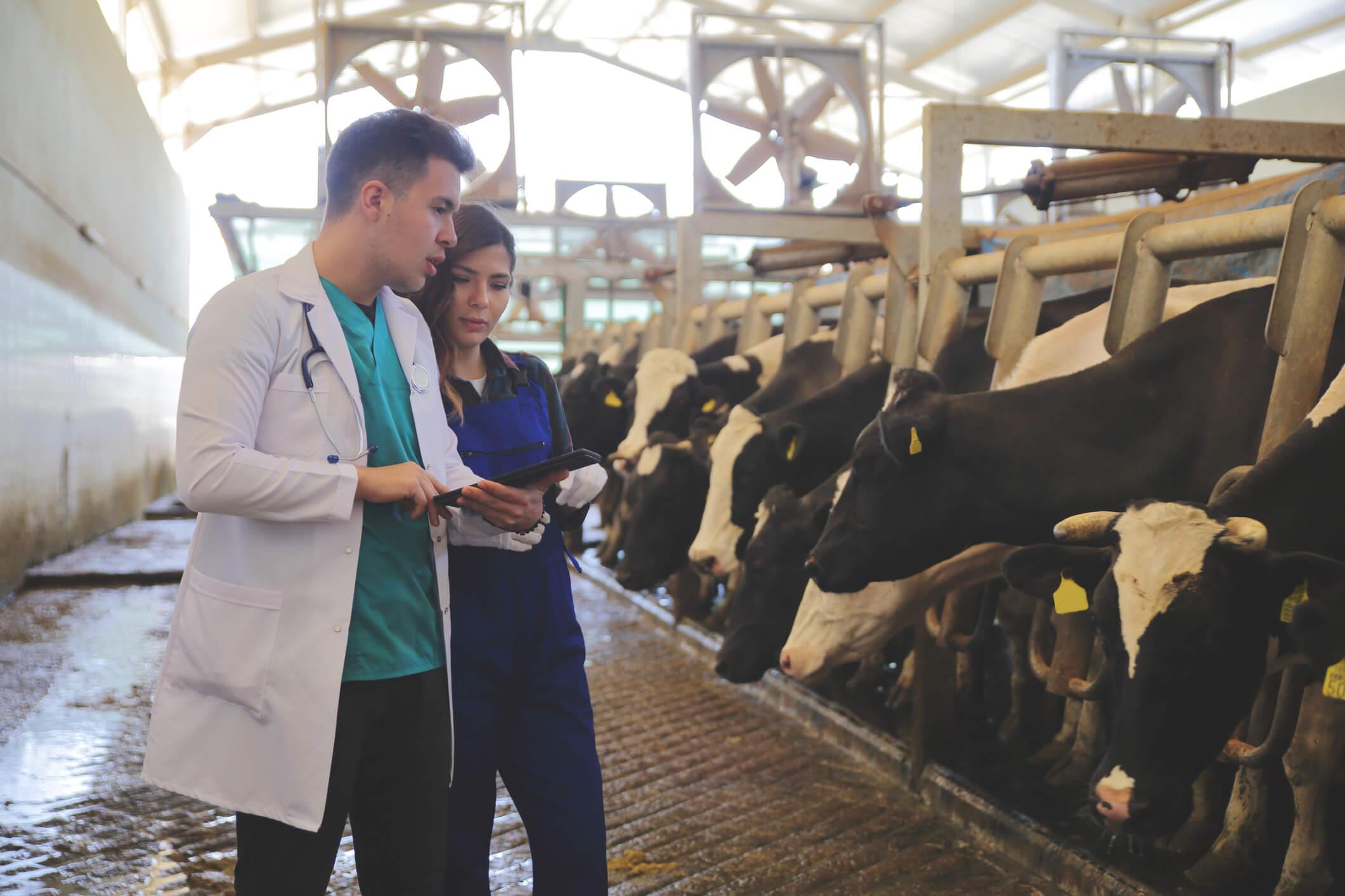 zootecnistas na criação de gado bovino